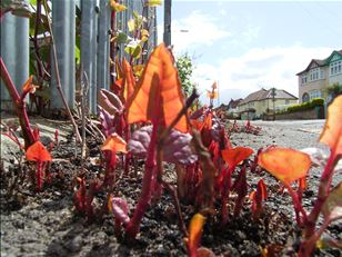 Unknotting Canada's knotweed problem
