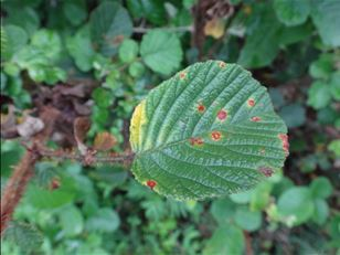 Finding a biocontrol for Himalayan raspberry