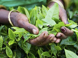 Promoting sustainable tea production in India