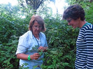 Controlling the invasive blackberry on the Galápagos Islands