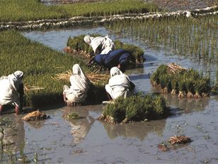 Building capacity for directly planted rice