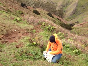 Rescuing and restoring the native flora of Robinson Crusoe Island