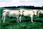 Cover for Charolais cattle
