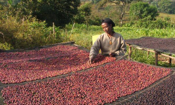 Coffee in Ethiopia 1