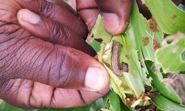 Fall armyworm damage to maize