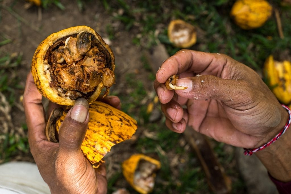 An overripe cocoa pod is posed for a photo in Village Candikesuma, Mordingsari Hamlet in Jembaran, Bali, Indonesia.