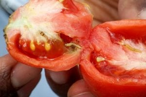 Tuta absoluta can devastate tomato crops and farmers' livelihoods (Copyright CABI).