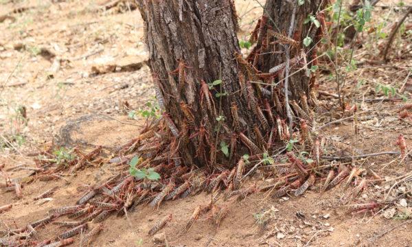 Roosting Desert Locusts