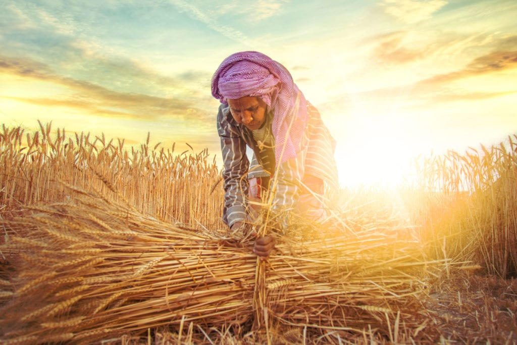 Indian female farmer collecting bundles of wheat
