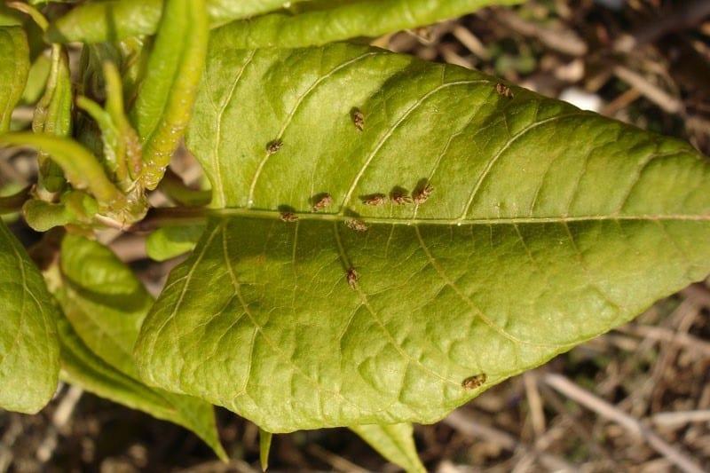Aphalara itadori on Japanese knotweed leaf