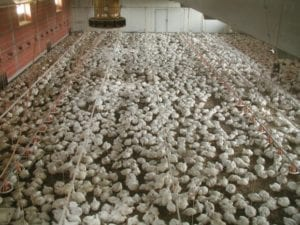 Fig. 13.2E. Conventional meat-chicken production in Europe uses fast-growing broiler strains stocked at 18–19 birds/m2; the broilers shown here are close to their slaughter weight of 2.2 kg. (Courtesy of Björn Forkman.)