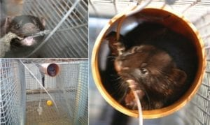 Fig. 13.3E. Mink provided with enrichment materials, in particular tubes to hide in, perform less stereotypic behaviour than mink kept in cages of double size without enrichment. (Courtesy of Steffen W. Hansen, Aarhus University.)