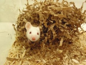 Fig. 13.1E. Provision of nesting material, here in the form of shredded paper, for laboratory mice serves as environmental enrichment and contributes to the thermoregulatory behaviour of the animals. (Courtesy of Brianna Gaskill.)