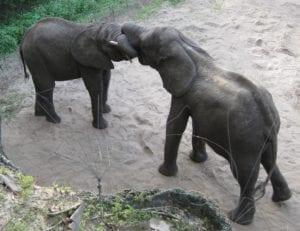 Fig_2.12E Positive social interactions between elephants