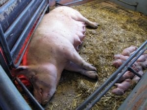Fig_2.15Eb An example of housing systems designed with the animal's natural behaviour in mind for farrowing sows.