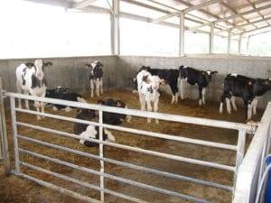 Fig_2.6E Group housing calves