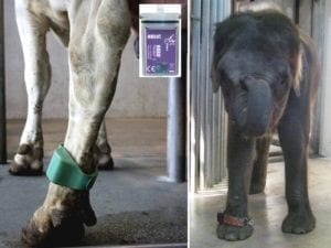 Fig_2.7E Research on the welfare of zoo elephants is using some methods developed in farm animals, such as this pedometer
