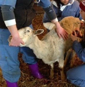 Fig. 8.1E. Thin ewe with dental disease. (Courtesy of Dr Paula Menzies.)