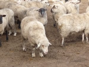Fig. 8.27E. Sick sheep showing signs associated with pneumonia. (Courtesy of Dr Paula Menzies.)