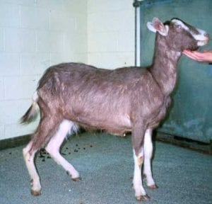 Fig. 8.7E. Goat with Johne's disease caused by the bacterium Mycobacterium avium subspecies paratuberculosis. (Courtesy of Dr Paula Menzies.)
