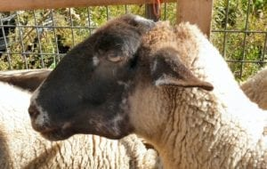 Fig. 8.8E. Sheep with tooth abscess. (Courtesy of Dr Paula Menzies.)