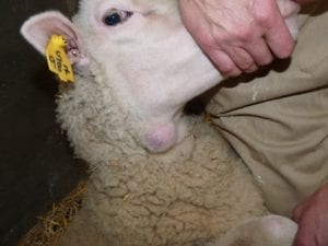 Fig. 8.9E. Sheep with caseous lymphadenitis abscess caused by infection with the bacterium Corynebacterium pseudotuberculosis. (Courtesy of Dr Paula Menzies.)