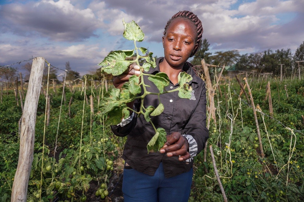 A farm manager checks for Tuta absoluta on tomato crops in Kajiado County, Kenya
