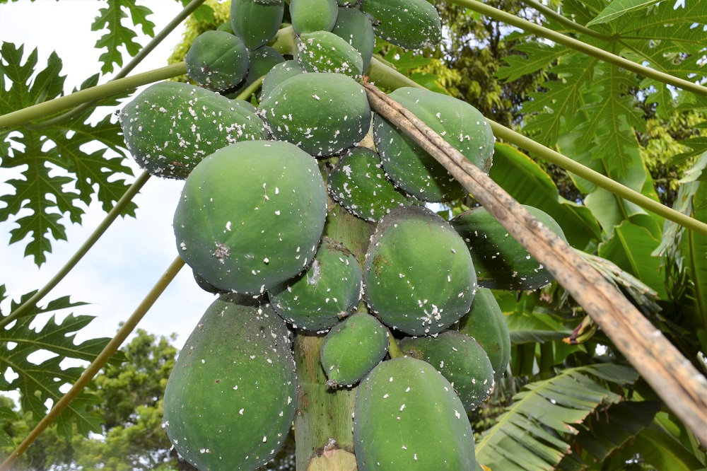 Papaya farm in Mombasa