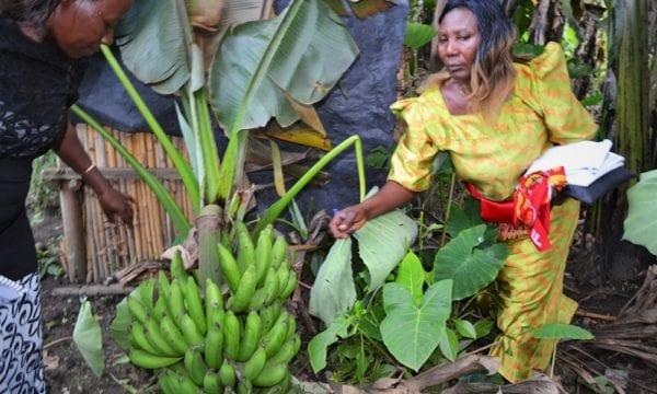 banana agronomy