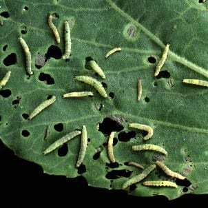 Diamondback larvae on cabbage