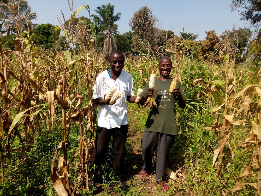 Healthy maize cobs at the end of the pilot