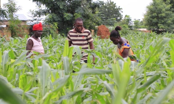 Farmers in Ghana tackling fall armyworm