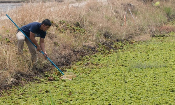 Man with net looking for invasives in river