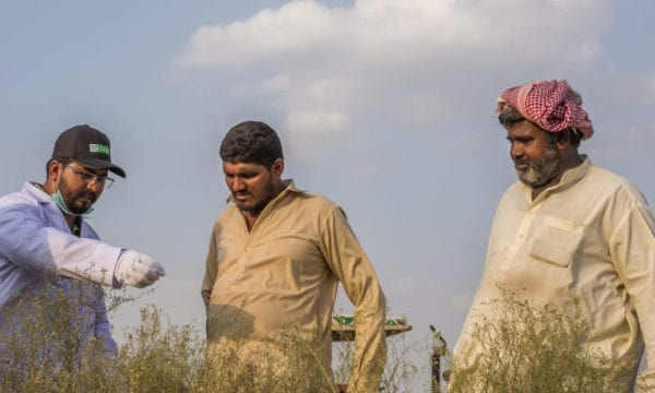 CABI staff showing farmers Parthenium in a field
