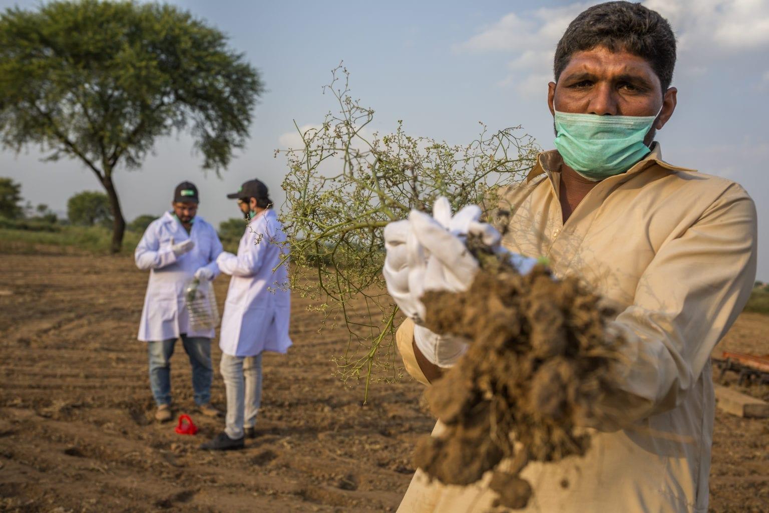Parthenium eradication in Pakistan