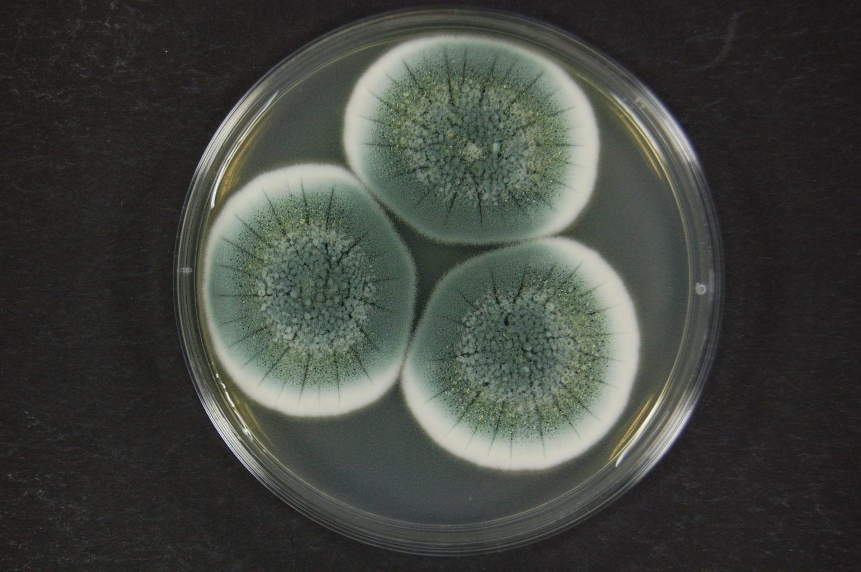Penicillium chrysogenum species groupx