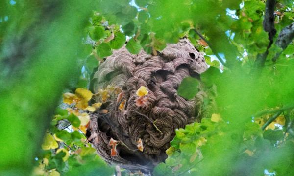 Asian hornet nest. Credit: Daniel Cherix (Lausanne University)