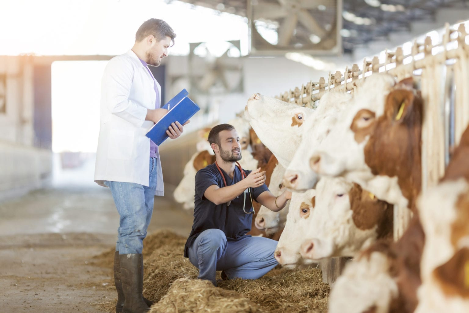 Vet and farming in barn with cow