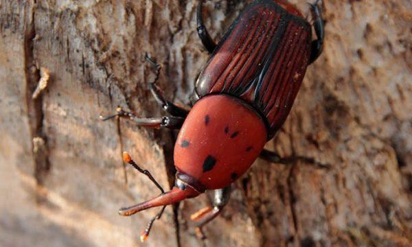 Rhynchophorus ferrugineus (red palm weevil); adult male, on trun