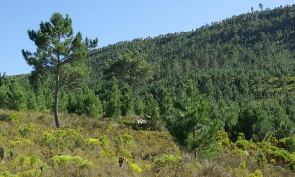 Pinus pinaster, one of many non-native trees that is highly invasive and causes major impacts in South Africa. The image shows a dense invasive stand of pines in the mountains of the Western Cape (Credit: Dave Richardson).