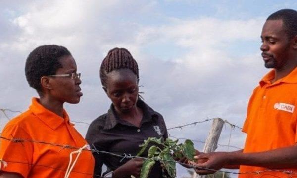 CABI staff showing Tuta absoluta with farmer