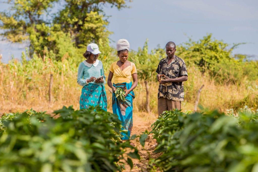 three people in field looking at crop