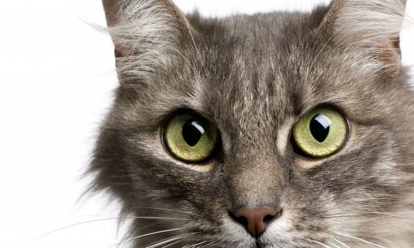 Close-up on a Crossbreed cat