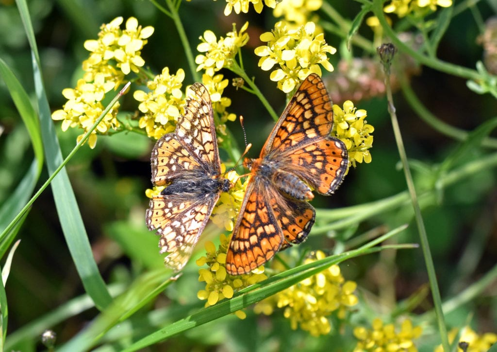 marsh-fritillary-eurodryas-aurina-aurinia-courtship