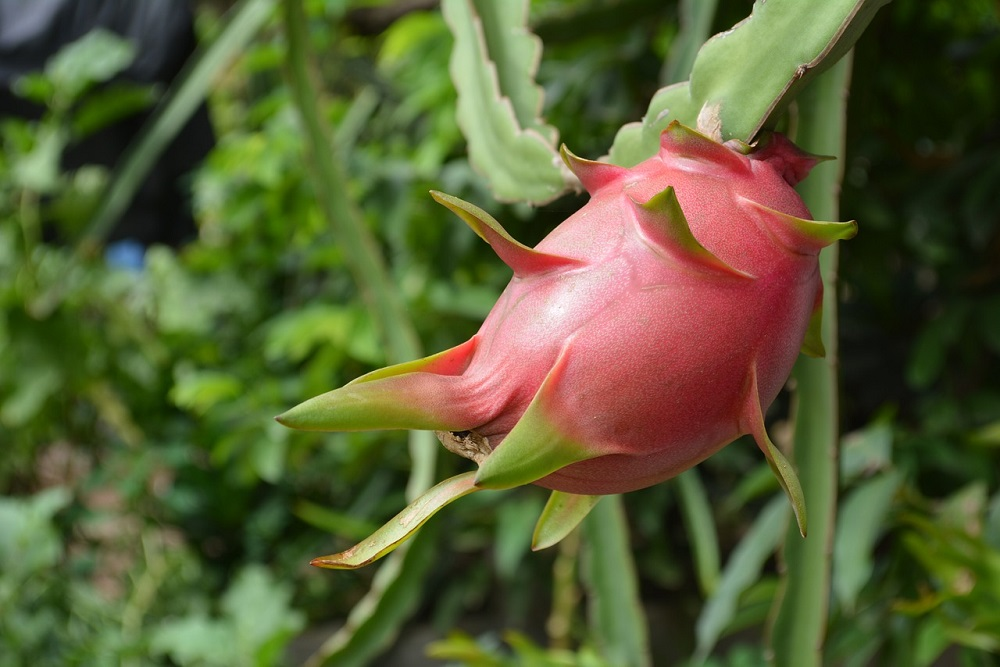 ripe-dragon-fruit-1544875_1280